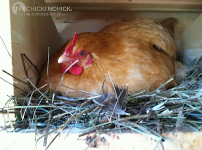 SuperBroody, April (a Buff Orpington)