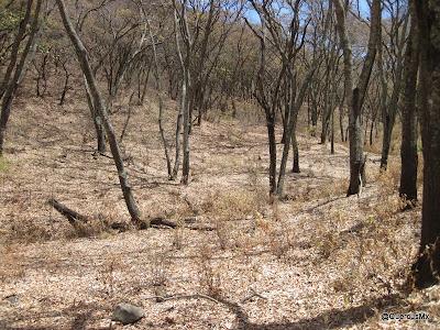 Bosque de encino entre la Sierra del Ixtle y la Chupinaya