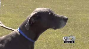 Microchip reunites Great Dane and Master