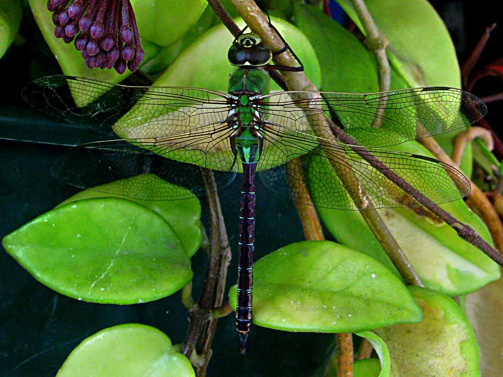 Dragon Fly (c) David Ocker