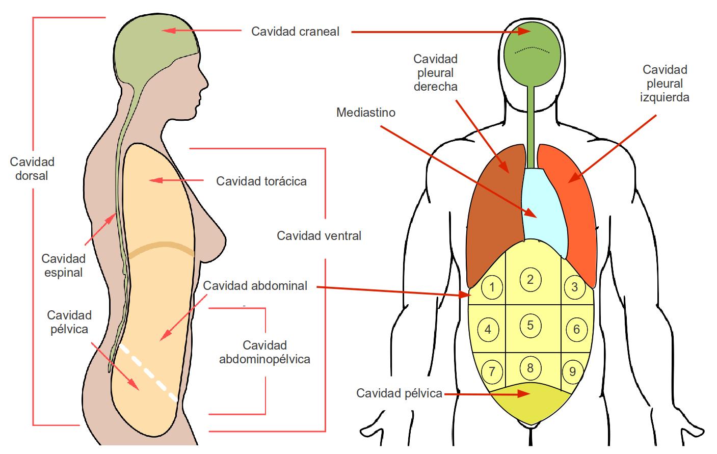 Asombroso Cavidades Corporales Diagrama Cresta - Anatomía de Las ...