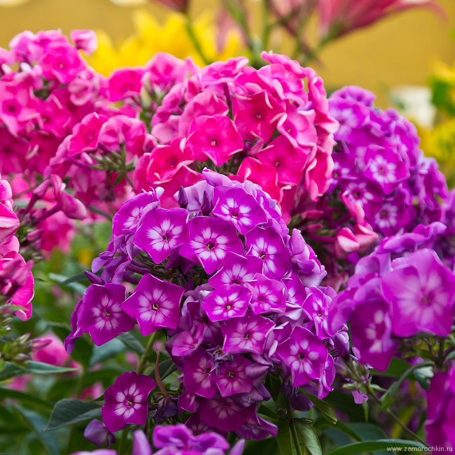 Малиновый и фиолетовый флоксы | Crimson and purple phloxes