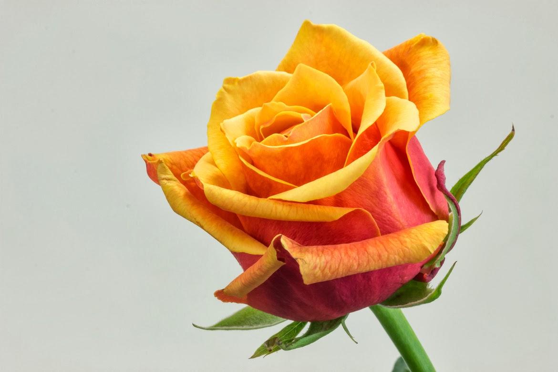 Banco de im genes gratis 20 fotos de rosas de colores - Fotos de rosas de colores ...