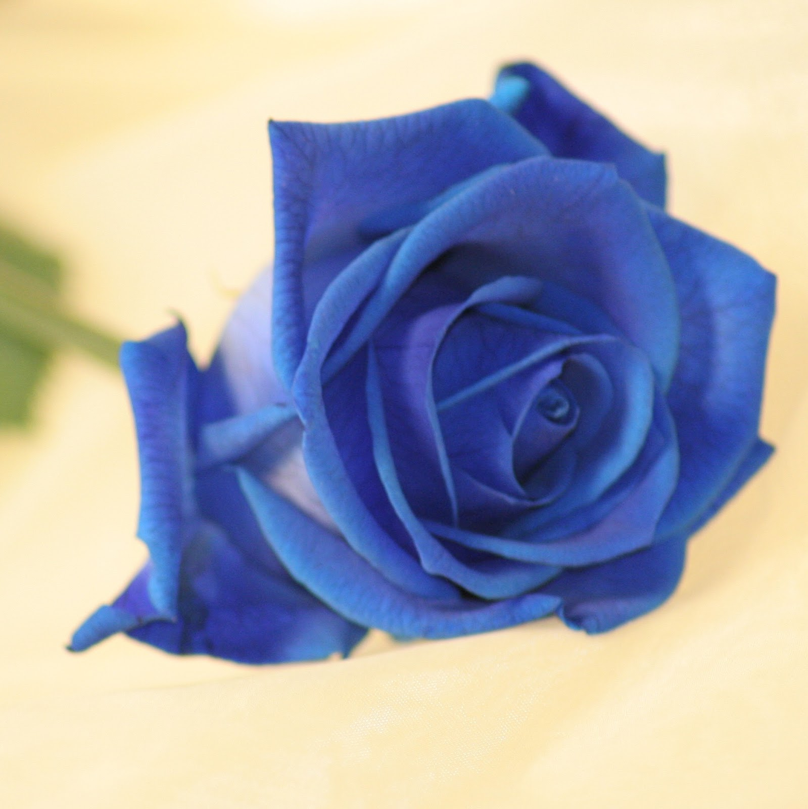 Valentine single rose pictures photos and hd wallpapers