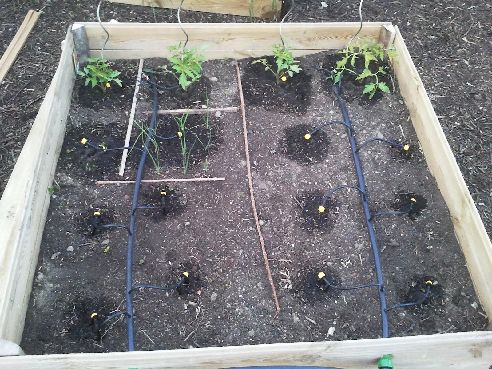 Un jardin en famille installation du goutte goutte dans for Arrosage jardin potager