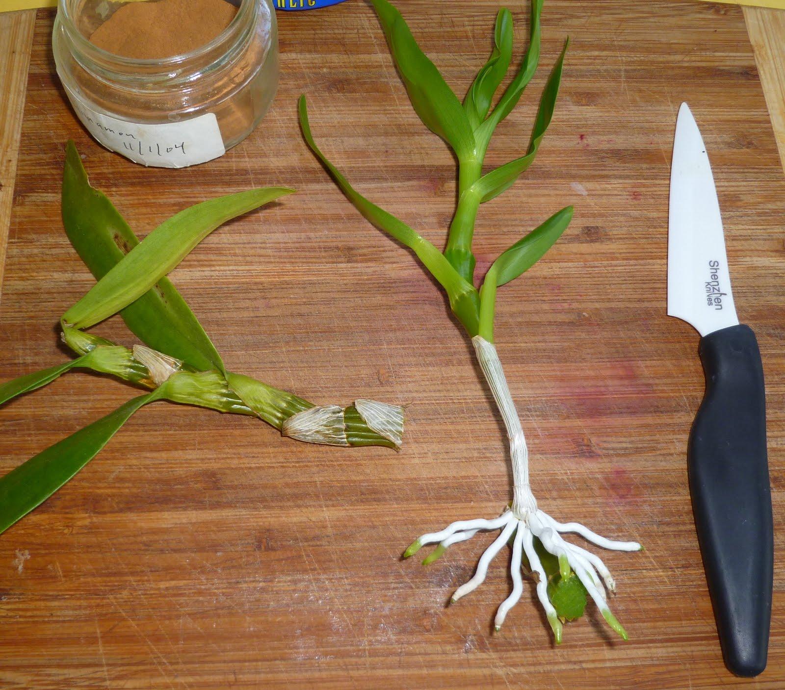 Как рассадить дендробиум в домашних условиях фото