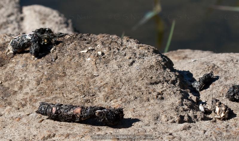 Excrementos de nutria sobre una piedra