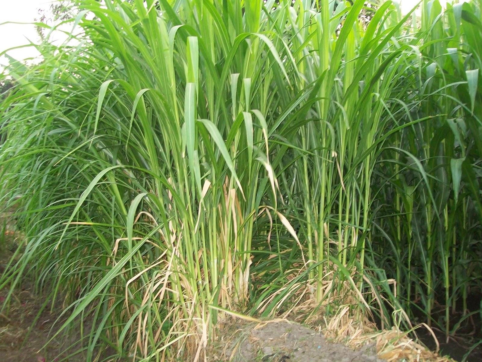 CARA MENANAM / BUDIDAYA RUMPUT GAJAH | Pertanian