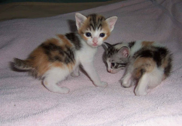 Litter size of Japanese Bobtail Cat