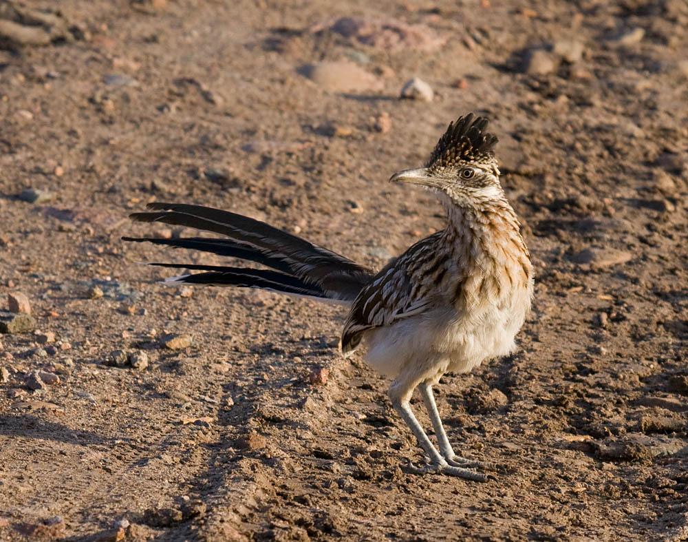 birds to know in san diego anza borrego desert greg in san diego