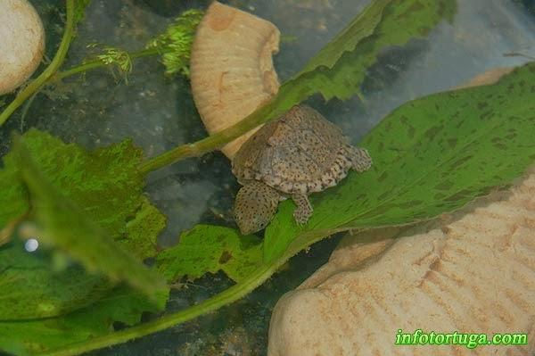 Cría de Sternotherus carinatus en su acuario