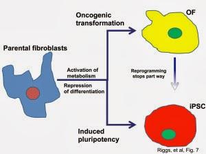 万能細胞は癌細胞と紙一重!