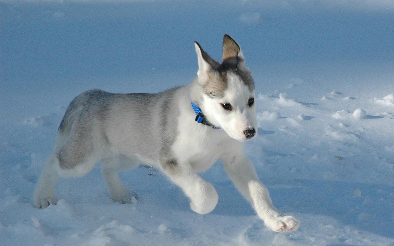http://3.bp.blogspot.com/-5x3wBcR0Ym0/UHPQ4CaBBFI/AAAAAAAAEWM/Ez7LXfVOby0/s1600/Siberian-Husky-Puppy-puppies-15897208-1280-800.jpg