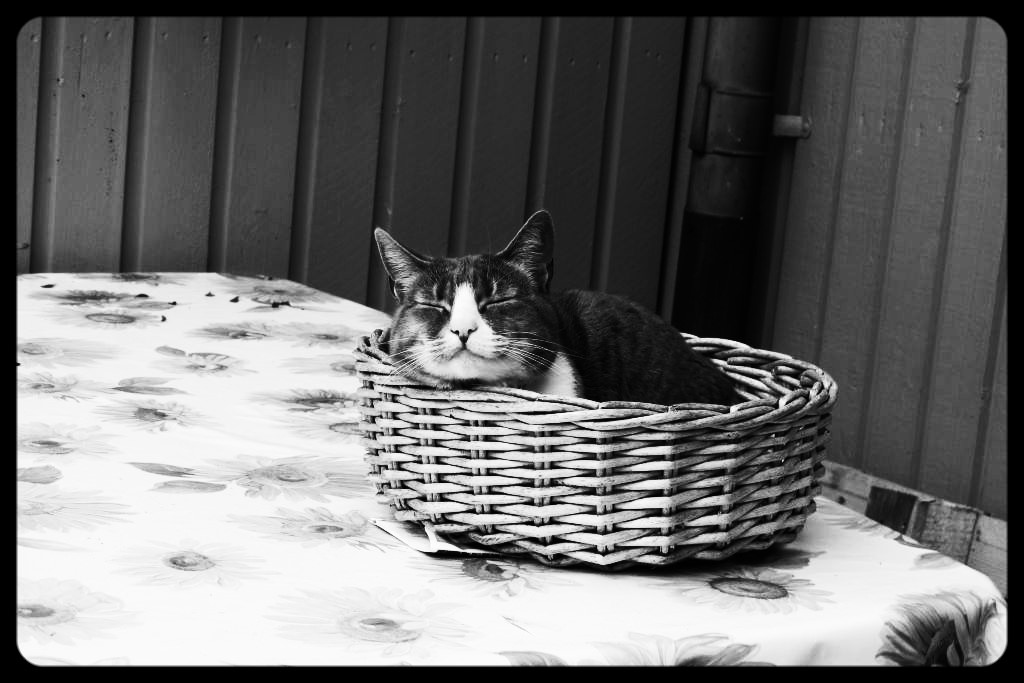 Bella the Cat asleep outside in a cane basket. Photo by Susan Wellington