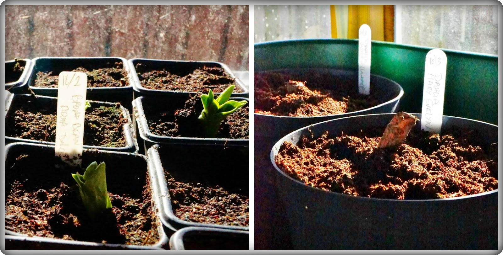 Broad beans and Dahlias -  'growourown.blogspot.com' ~ An allotment blog