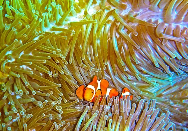 Ikan Nemo, Clown Fish, Terumbu Karang, Raja Ampat, Bawah Laut Raja Ampat, Wayag, Diving, Photographer, Indonesia Stock Photo