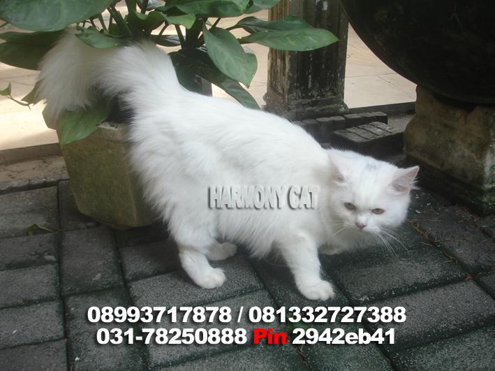 Dijual Betina White Solid Sudah Vaksin Harmony Cat