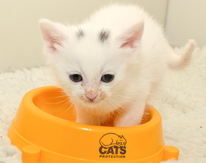 White kitten in food bowl