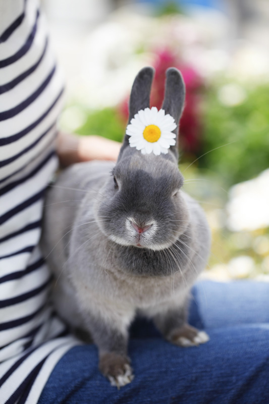 A big grey rabbit with a daisy between his ears, sat on a woman's lap