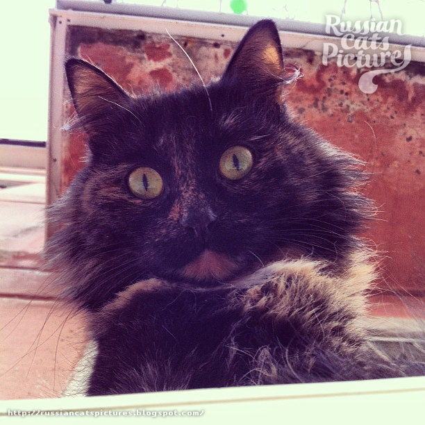 Domestic Instacats: Tortoiseshell Kitty Cat 05