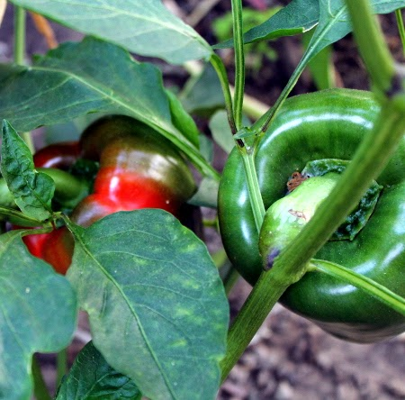 The August 2014 garden: bell peppers