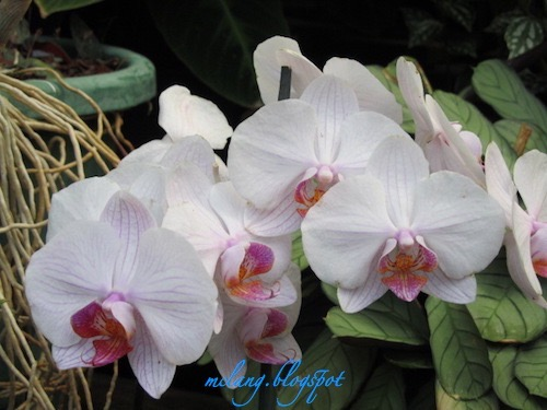 Magically Orchids