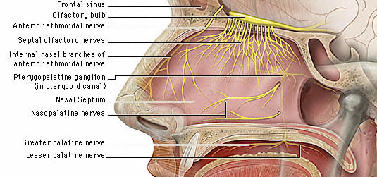Ent For Medical Students Nose Anatomy Physiology