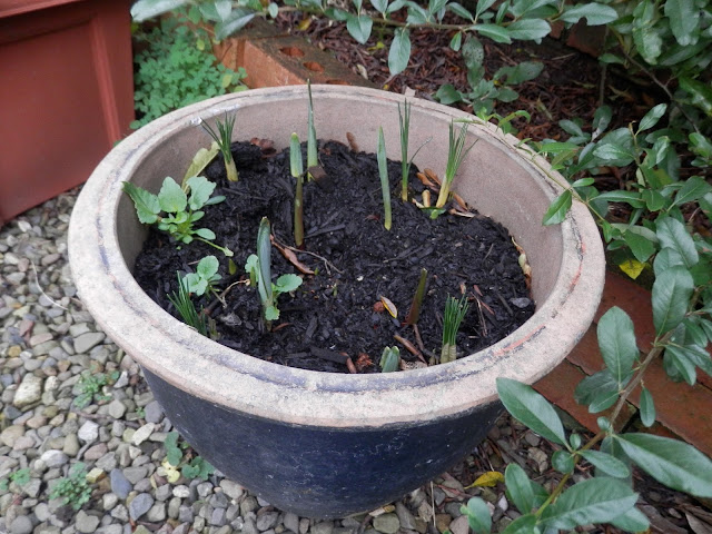 Spring bulbs in pots.  My garden, January 2016. secondhandsusie.blogspot.co.uk #gardenblogger #ukblogger #gardening