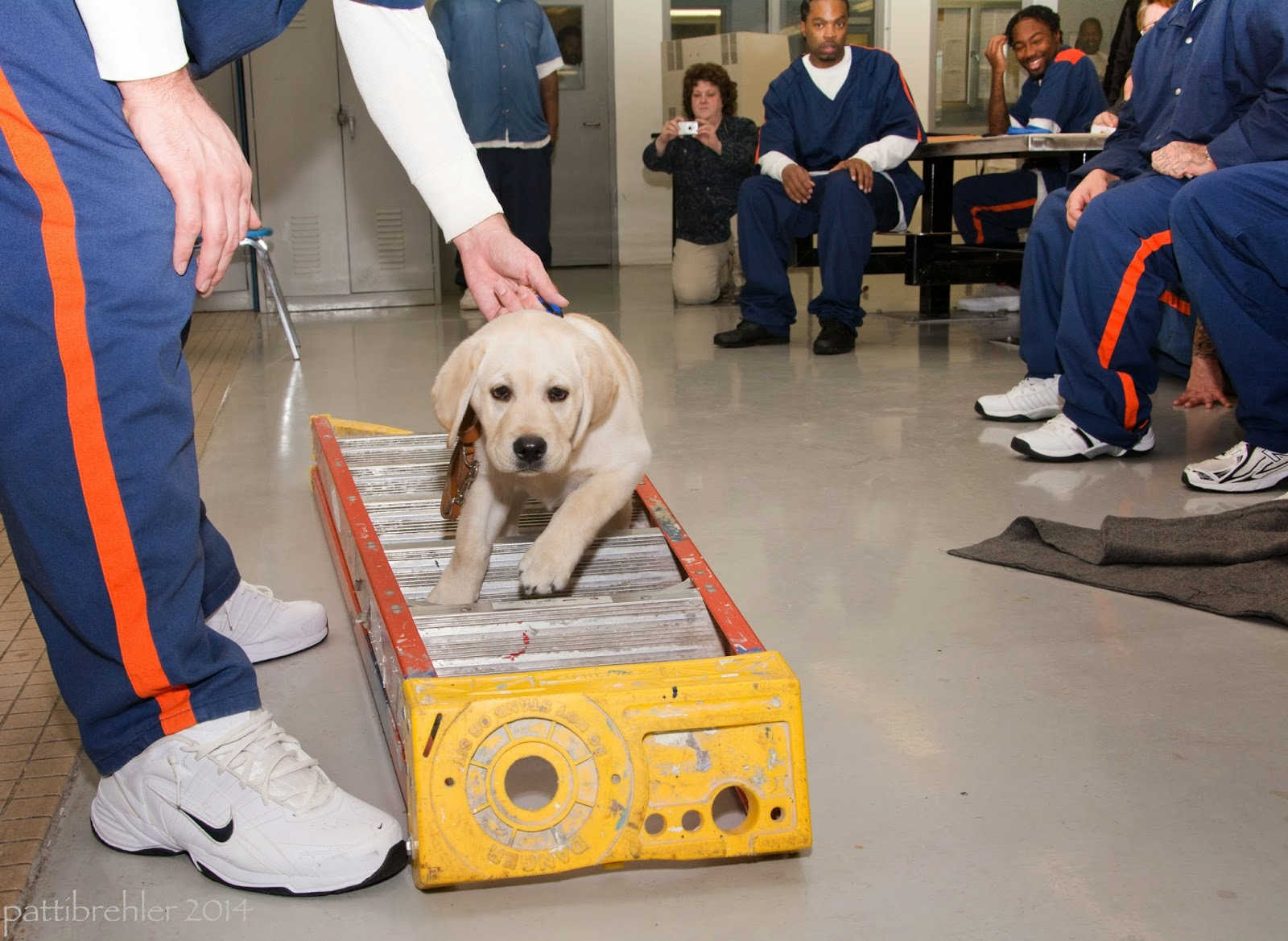 Men dressed in the blue and orange striped prison uniforms sit in the background watching an inmate raiser guide his yellow lab puppy through the rungs of a ladder. The ladder is laying on the tile floor toward the camera. The raiser on the left is mostly out of view, He is bending at the waits and his left hand is holding the collar of the yellow lab puppy. The puppy is stepping over the rungs of the ladder, looking right at the camera.