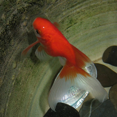 Red Fantail Goldfish Pictures