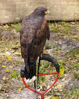 Hawk at Renaissance Festival in Deerfield Beach