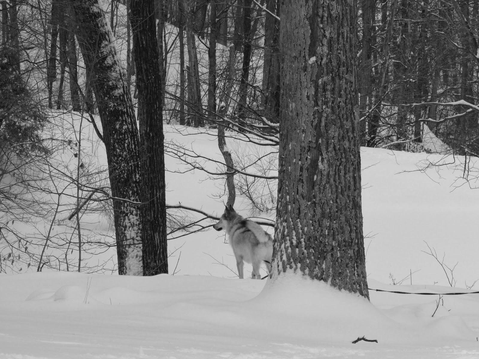 wolfdog, wolf hybrid