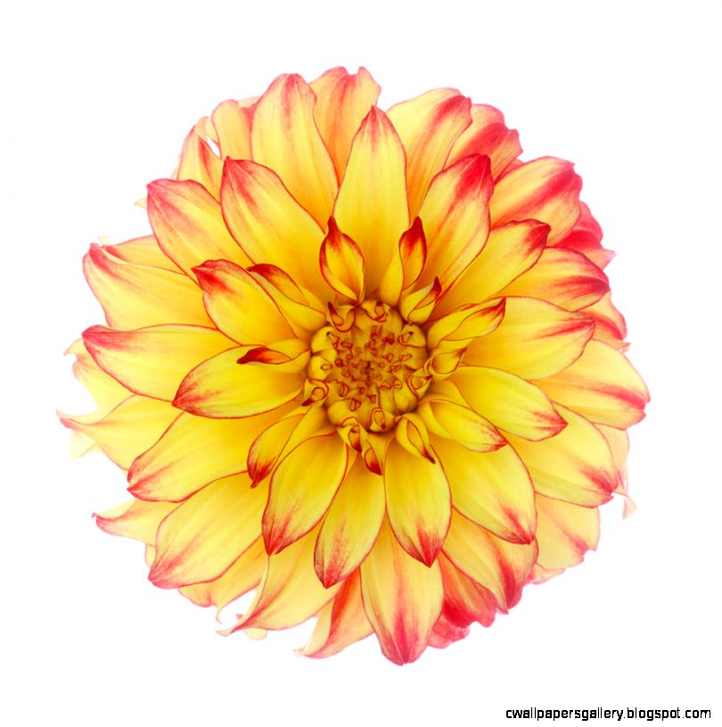 Dahlia lady Darlene On White Background Photograph by Rosemary