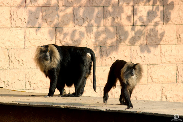Lion-Tailed Macaque By Shashank Mittal Photography, Lion-Tailed Macaque, Shashank Mittal Photography, Shashank Mittal, Shashank, Mittal, Photography
