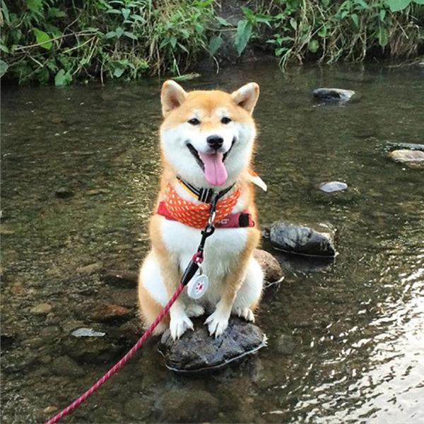 13 tai nạn các em cún Shiba gặp, nhưng rất... hớn hở ảnh 3