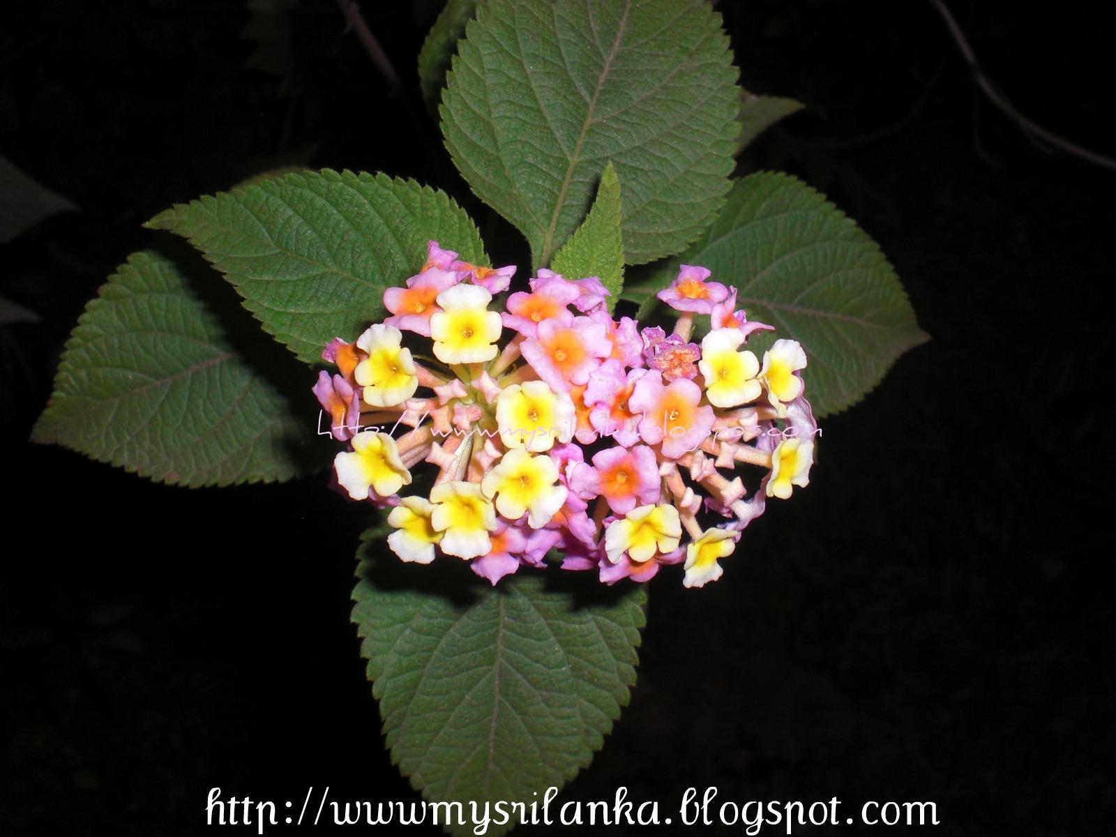 My sri lanka wild flowers