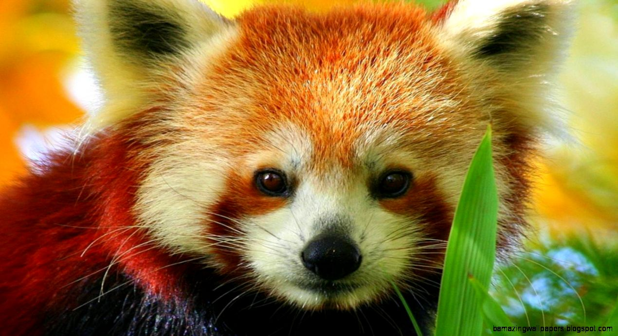 Baby Red Panda 7 Cute HD  milliwall