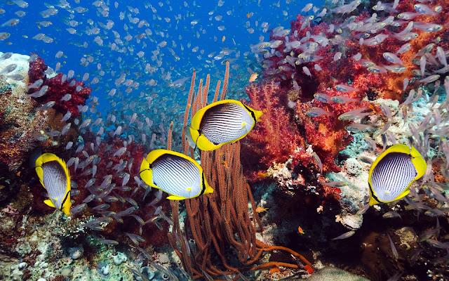 Imagenes de Peces Amarillos y muchos colores en Arrecifes de Coral