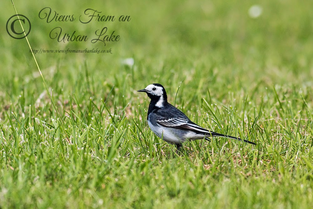 Pied Wagtail - Loughton Valley Park, Milton Keynes
