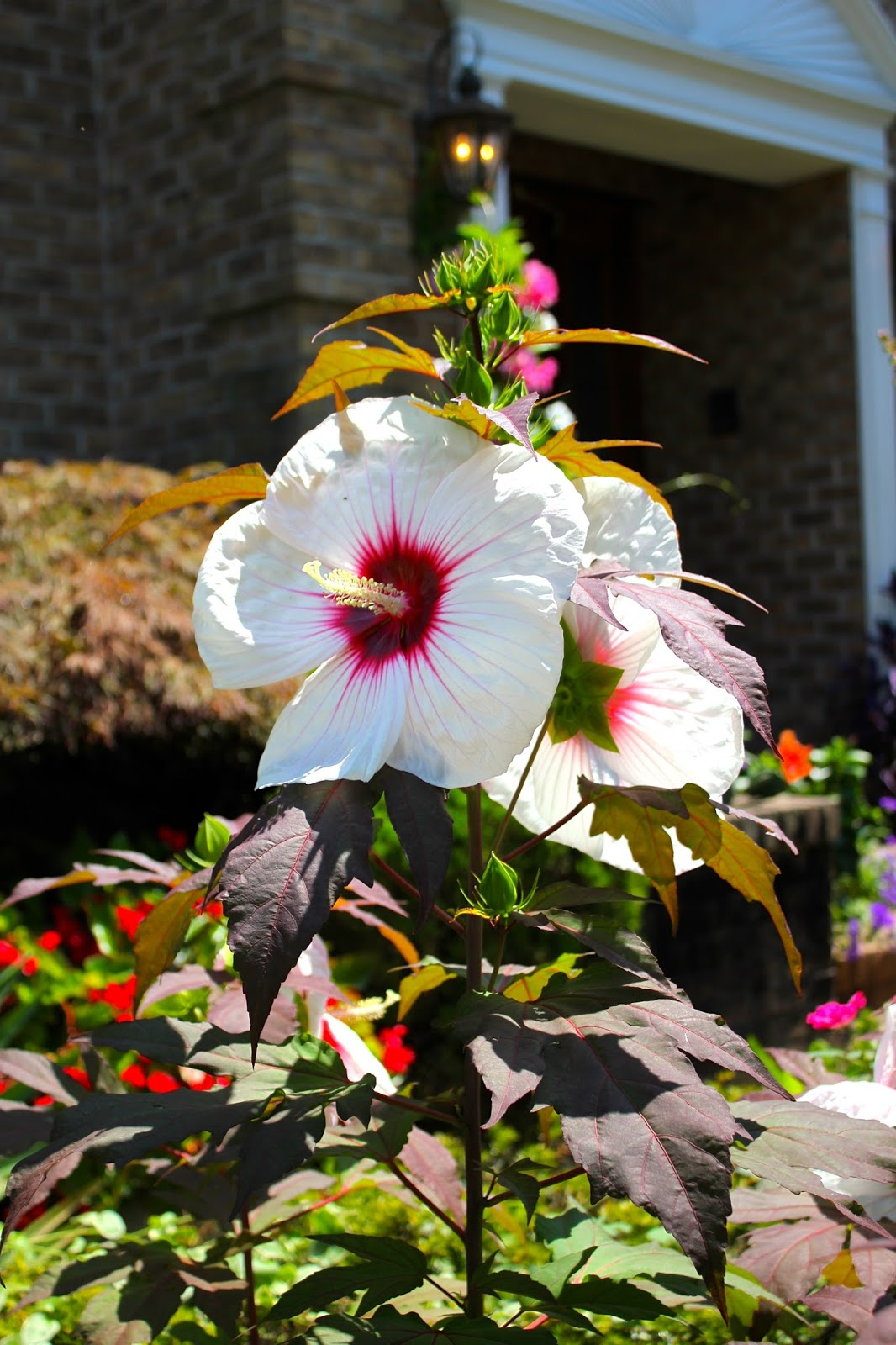 tropical gardening in new york city kopper king hibiscus. Black Bedroom Furniture Sets. Home Design Ideas