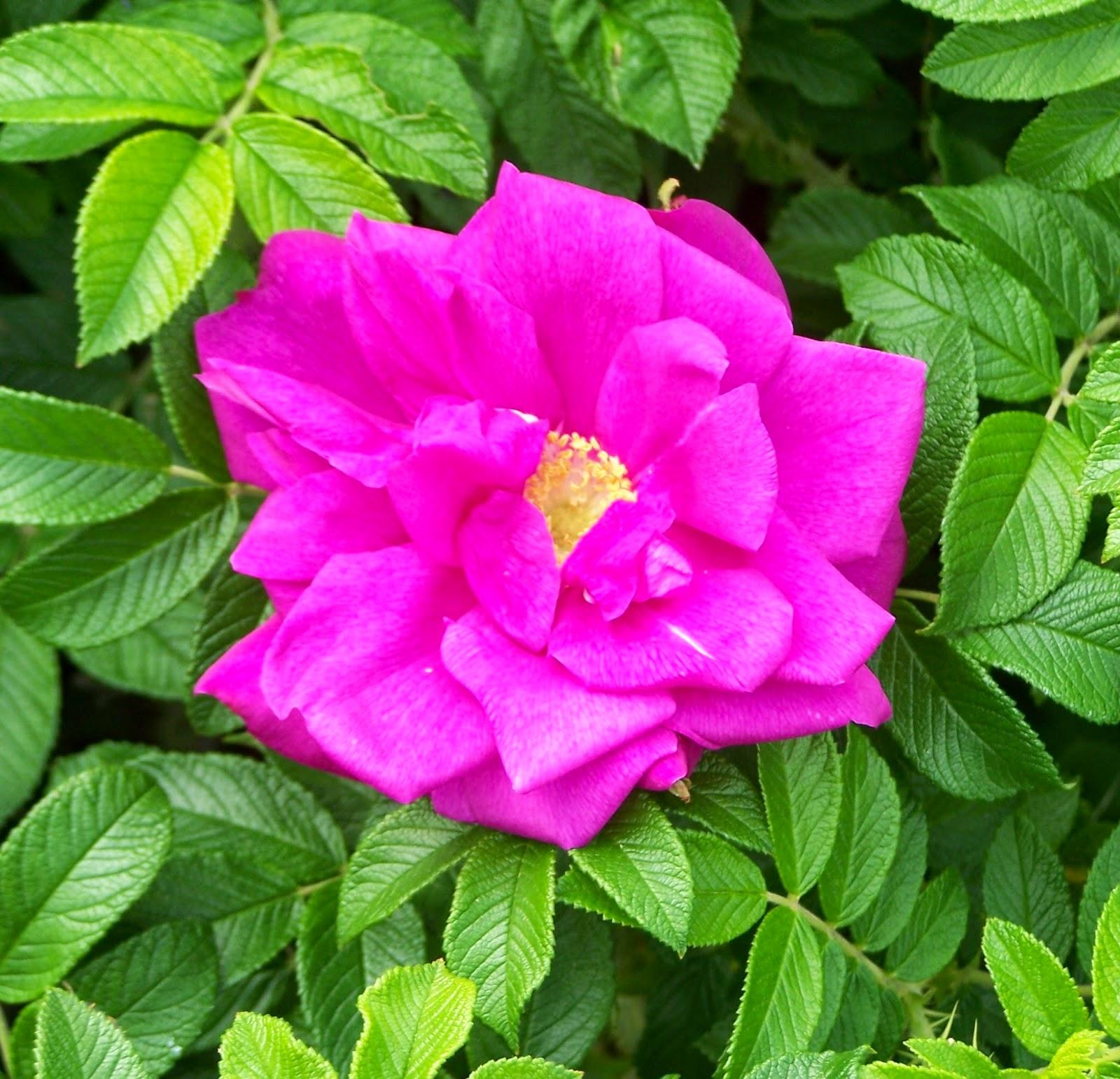 Arte y jardiner a rosales rugosa for Jardineria rosales