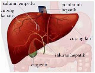 6 Fungsi Hati Bagi Kesehatan Manusia