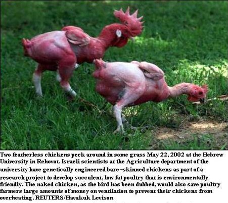 Kfc headless chicken farm - photo#7