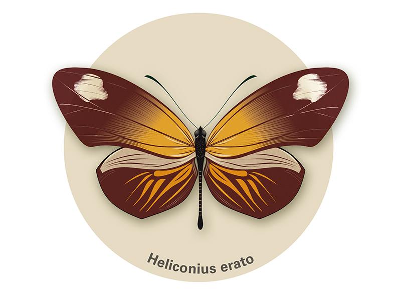 Heliconius erato