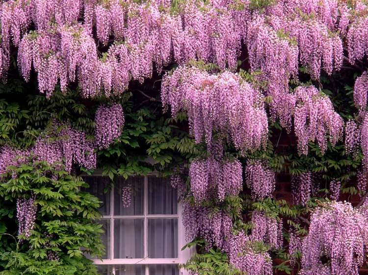 Plantas de casa glicinia for Glicina planta