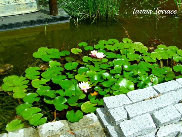 Tartanterrace the rain in spain for Koi pool villa