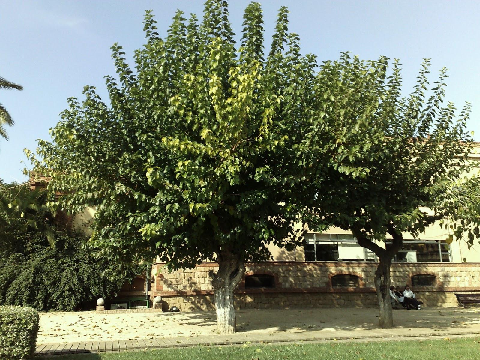 Rboles con alma morera morus alba for Arboles de jardin de hoja caduca