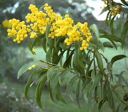 Flowers for flower lovers acacia yellow flowers acacia yellow flowers mightylinksfo
