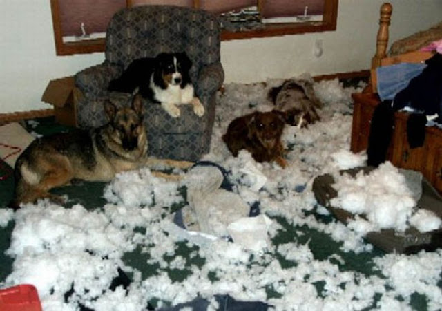 funny cat picture, funny dog picture, pets destroying things
