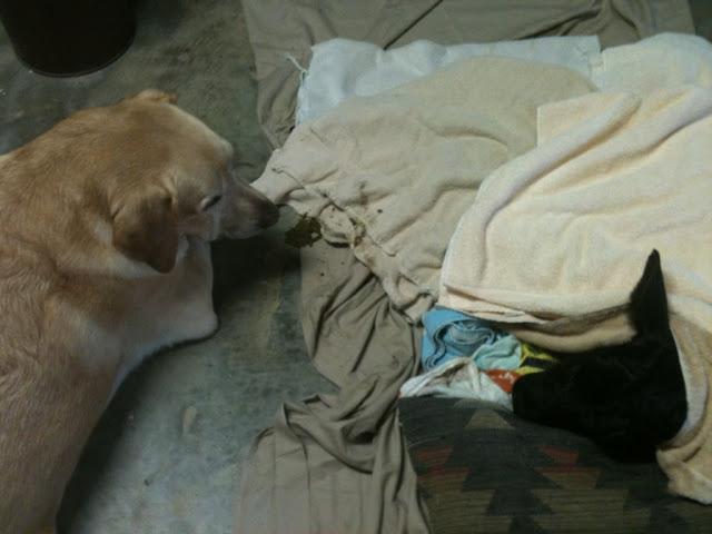 A dog named Bosko saved a dying little calf
